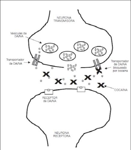 Mecanismo de acción de la cocaína